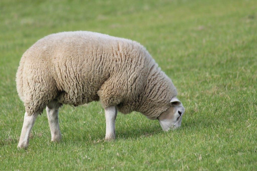 Schaf in Ditzum