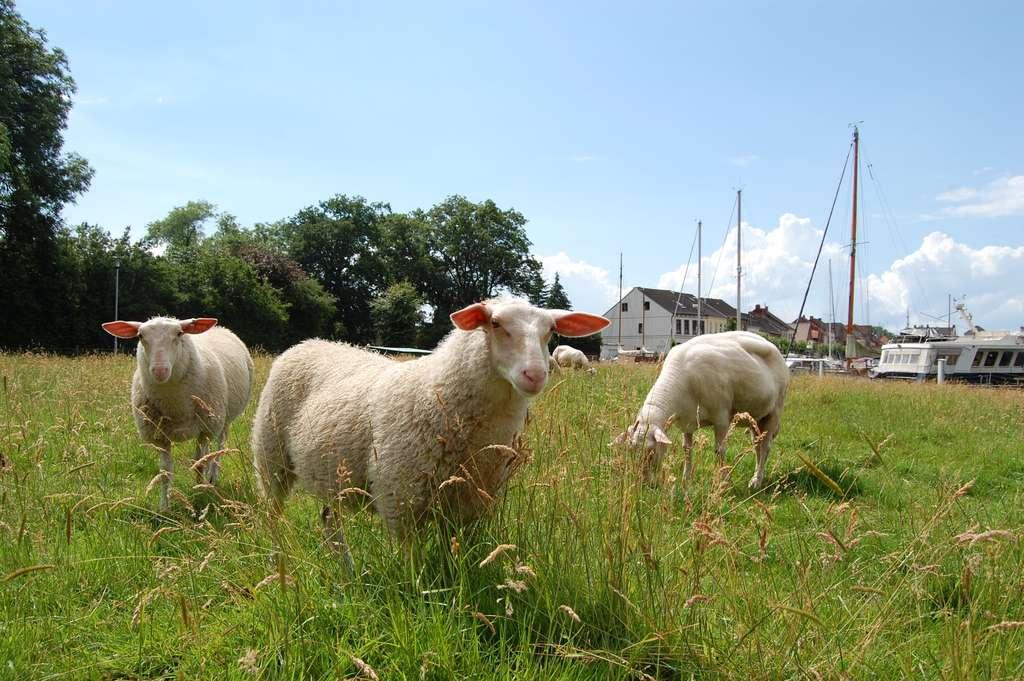 Schafe in Weener