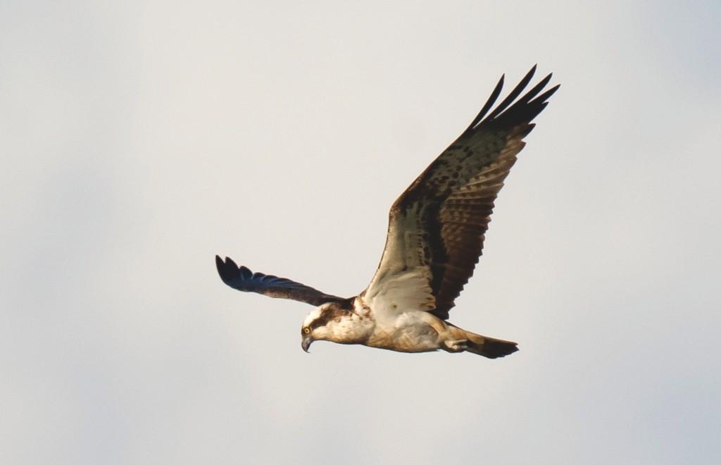 Wattenmeer Greifvogel